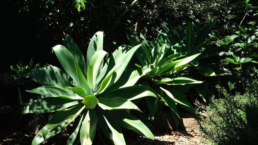 agave-kasvi